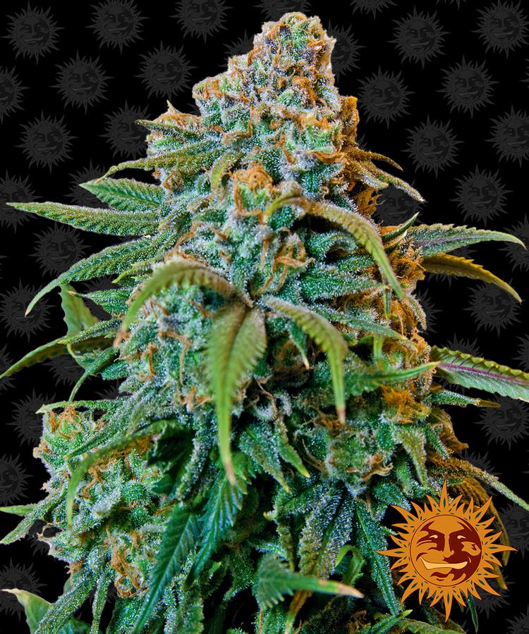 Сорта конопли с описанием марихуана красивые картинки