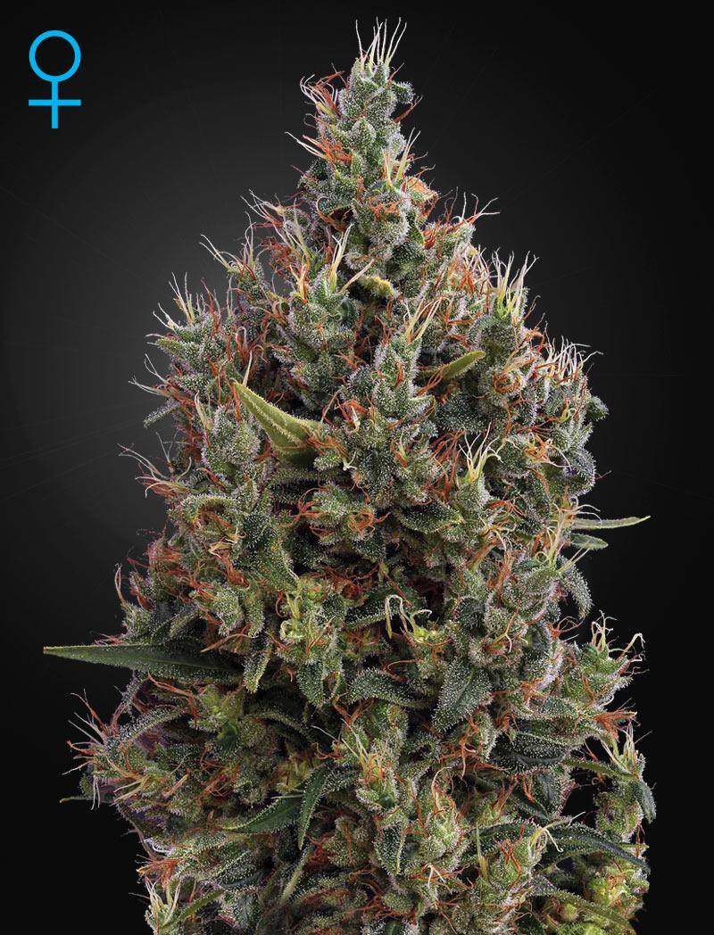 Голландские сорта марихуаны википедия курение марихуаны